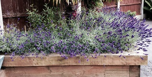 Raised border with lavender